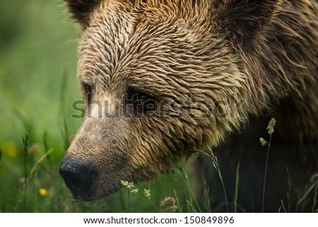 Brown bear head portrait crop sniffing grass - stock photo