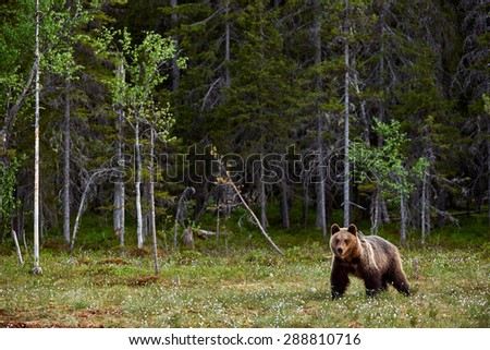 Brown Bear in a Finnish moor on the edge of the forest - stock photo
