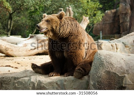 Brown bear in a funny pose showing his jaws