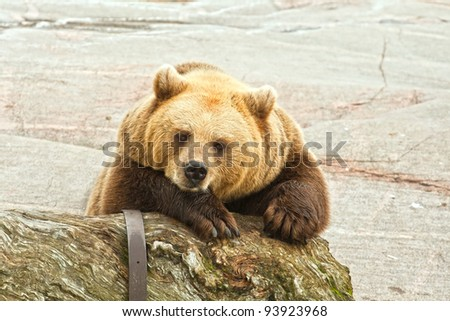 Brown bear in an open-air cage of a zoo of Helsinki - stock photo