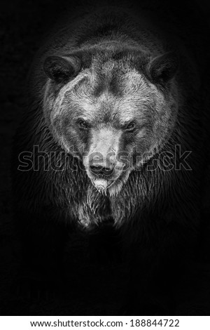 brown bear in black and white - stock photo