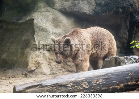 brown Bear in cage - stock photo