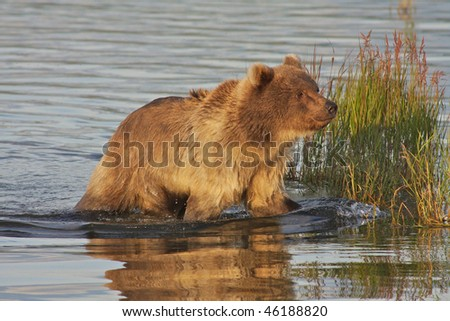 Brown bear in evening light - stock photo