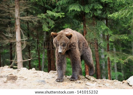 Brown bear in forest after rain