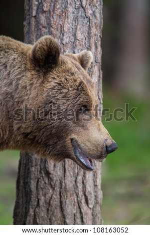 Brown bear in forest close up - stock photo