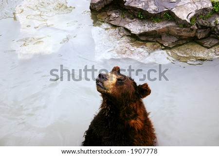 brown bear in lake - stock photo