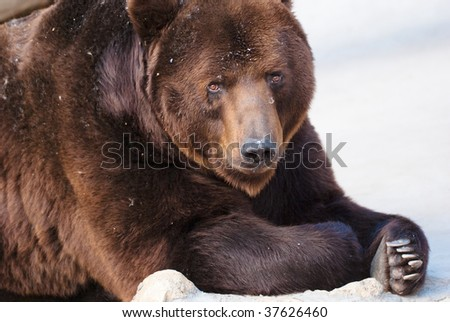 Brown bear in Moscow zoo