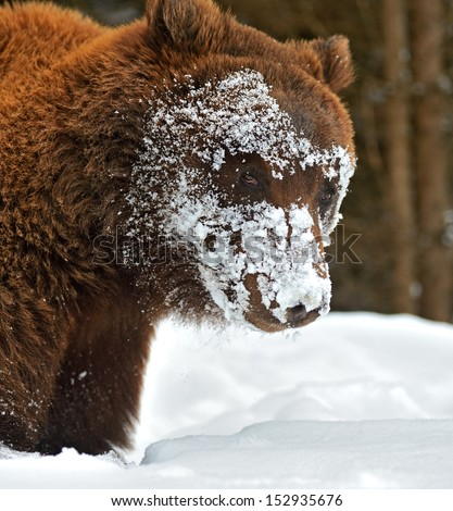 Brown bear in the woods - stock photo