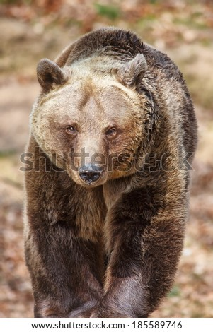 brown bear is coming - stock photo