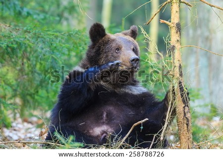 brown bear is playing with small tree - stock photo