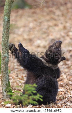 brown bear looking for something up the tree - stock photo