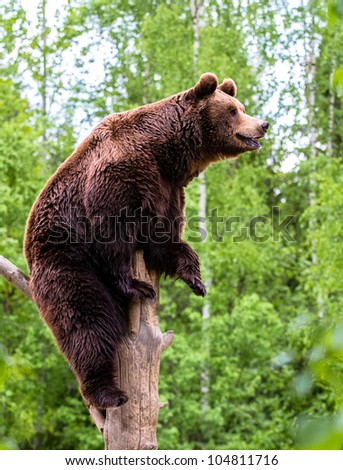 Brown bear looking into the distance on the tree - stock photo