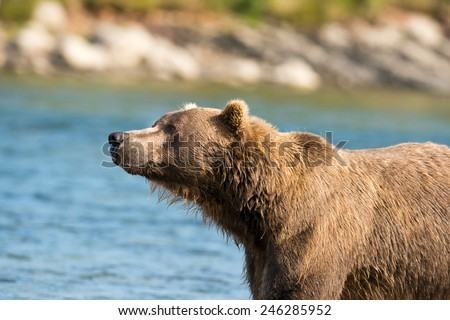 Brown Bear looking to the left, profile - stock photo