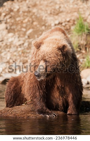 Brown bear looks to the left at other approaching bears