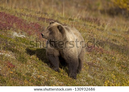 Brown Bear on Tundra - stock photo