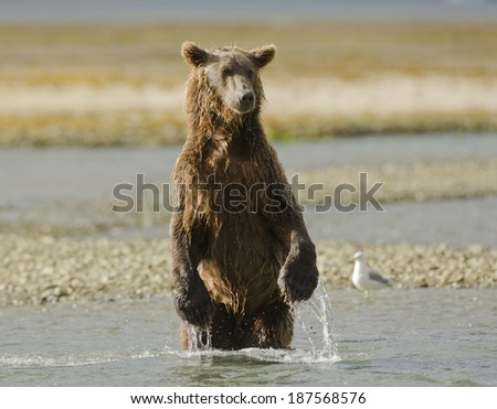Brown bear, or Coastal Grizzly Bear, Ursus arctos, during fall salmon run, Hallo Bay, Katmai National Park, Alaska, United States
