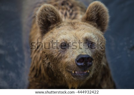 Brown Bear or Grizzly bear, - stock photo