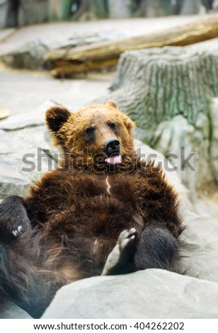 Brown bear portrait - stock photo