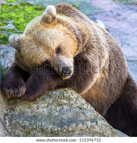 Brown bear resting on the rock with open eyes - stock photo