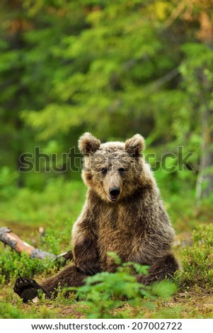 Brown bear sitting in the forest - stock photo