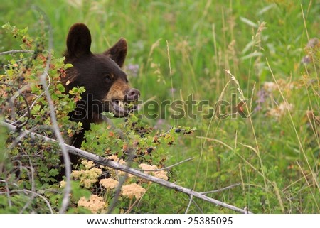 brown bear sitting peacefully eating huckleberries - stock photo