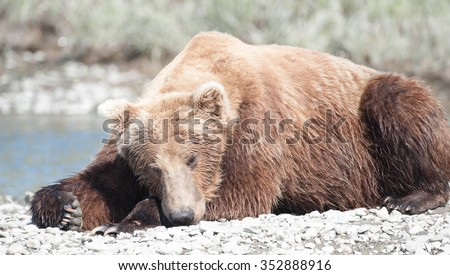 Brown Bear sleeping on a gravel beach in the middle of a river in Alaska