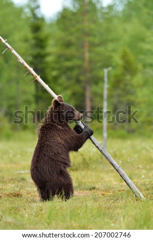 Brown bear standing and holding a tree - stock photo