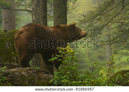 Brown bear standing on a rock in the forest - stock photo