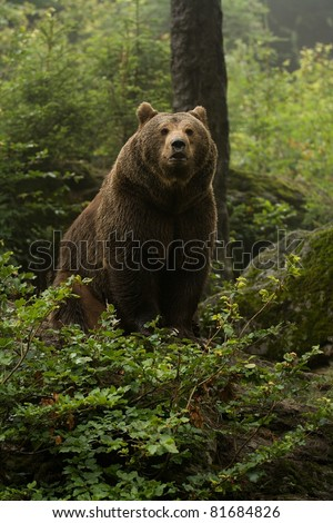 Brown bear standing on top of a hill in the woods and looking forward - stock photo