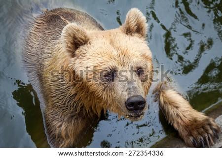 Brown Bear Swimming - stock photo
