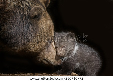 brown bear - Ursus arctos - stock photo
