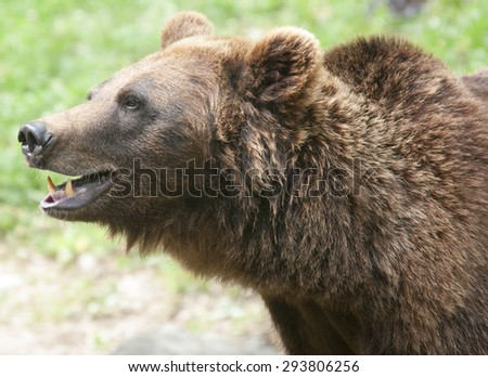 Brown Bear, Ursus arctos - stock photo