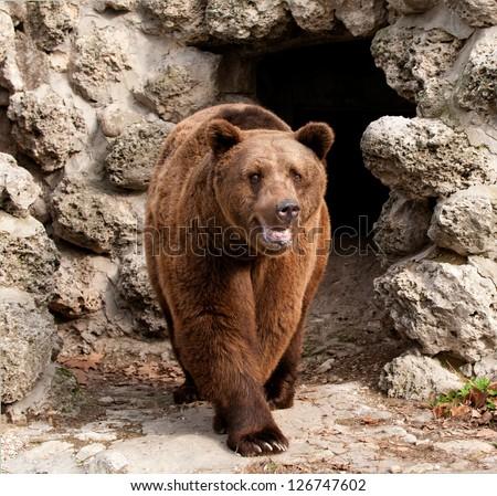 Brown bear (Ursus arctos) front view - stock photo
