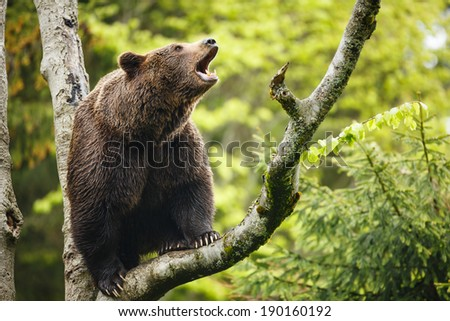 Brown bear (Ursus arctos), sitting on a tree, screaming loudly - stock photo