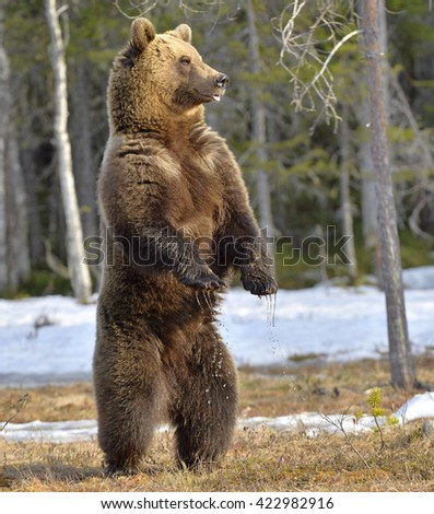 Brown bear (Ursus arctos) standing on his hind legs  in spring forest.  - stock photo