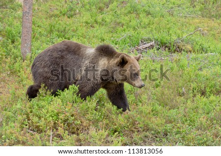Brown bear walking calmly in the woods - stock photo