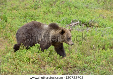 Brown bear walking in bilberry bushes in summer time - stock photo