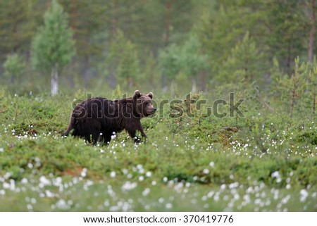 brown bear walking in moor at summertime in the flowering grass and arctic taiga forest in the background.