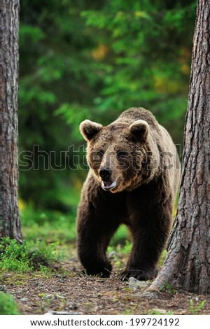 Brown bear walking in the forest - stock photo