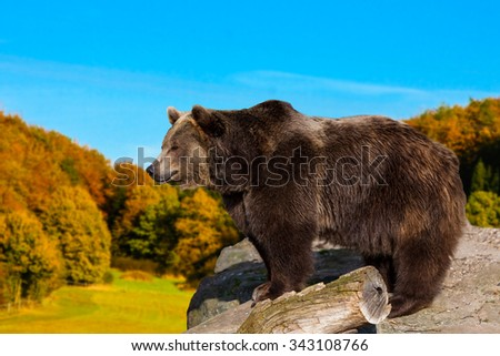 Brown Bear. wild grizzly bear - stock photo