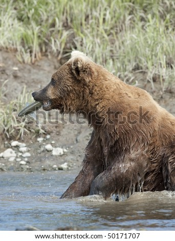 Brown bear with a fresh salmon catch. - stock photo