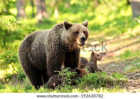 Brown bear with cubs in the forest - stock photo