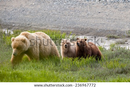 Brown bear with two cubs following her - stock photo