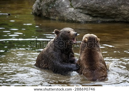 brown bears is plying in the river - stock photo