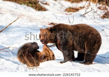 Brown Bears (Ursus arctos) in the Bayerischer Wald National Park, Bayern, Germany - stock photo