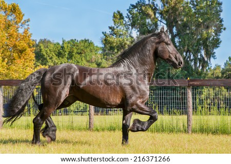 Brown friesian horse