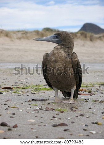 Brown Booby, Sula leucogaster, on beach in Mexico - stock photo