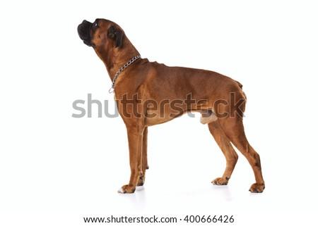 Brown boxer dog - stock photo