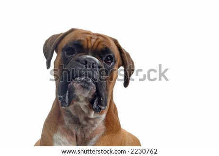 brown boxer looking into camera