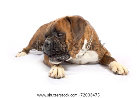 Brown Boxer with white chest staring left - stock photo